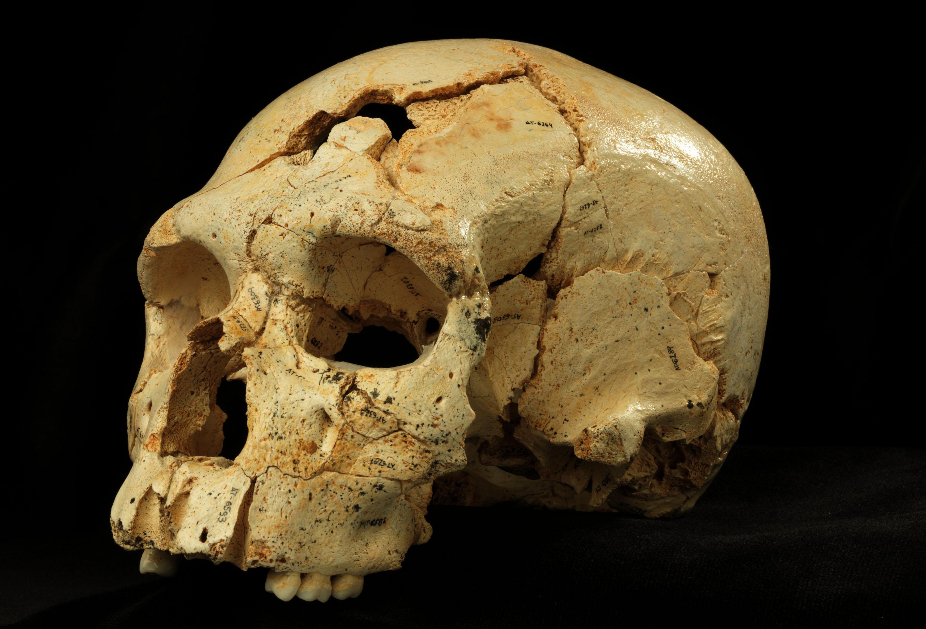 Cráneos de Atapuerca con rasgos neandertales y primitivos iluminan ...
