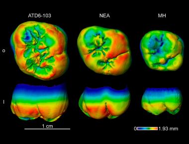 <p>Espesor de esmalte en el <em>H. antecessor</em> en comparación con el de neandertal y humano moderno. / Martín-Francés et al. 2018</p>