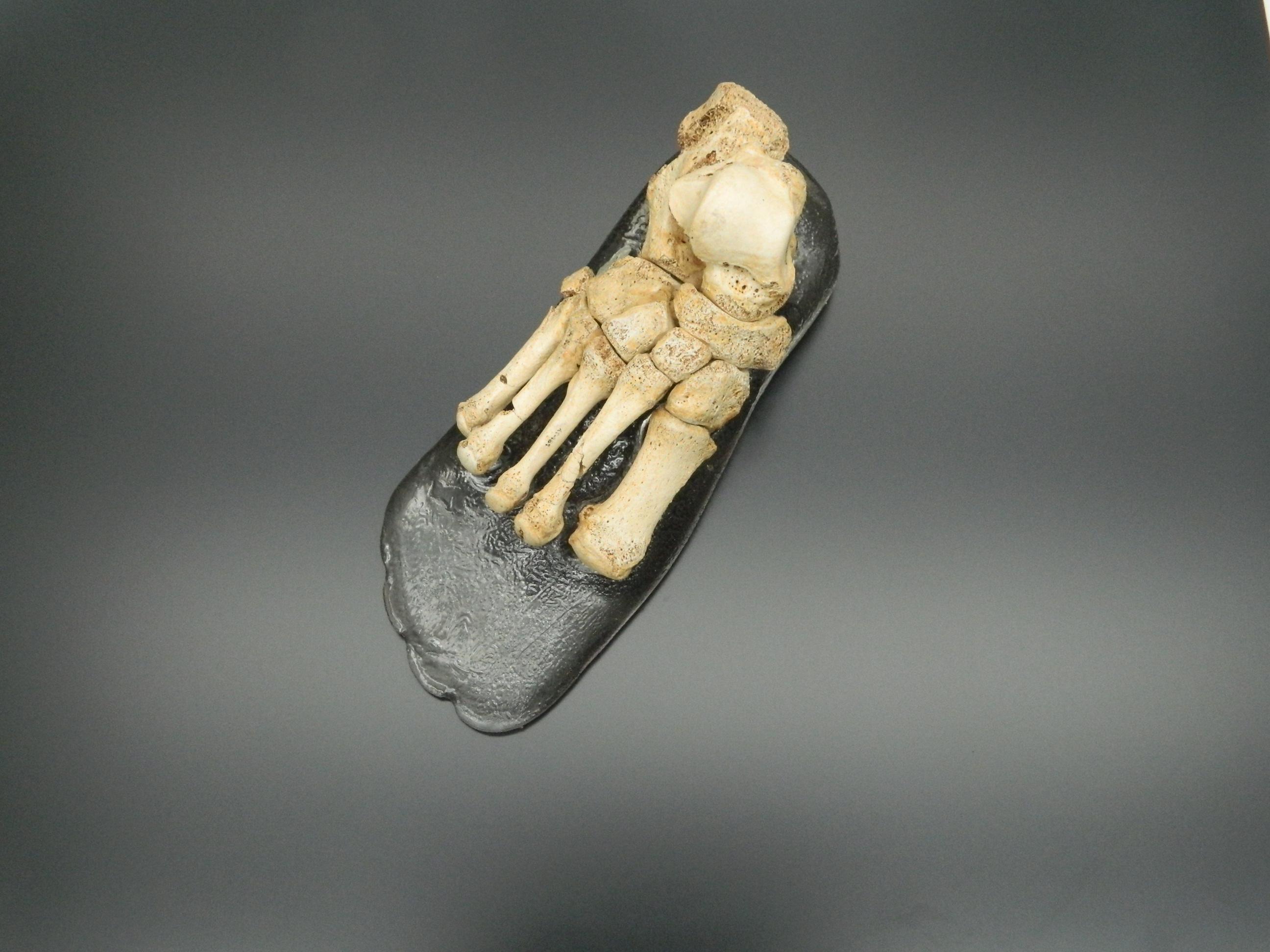 El Museo de la Evolución exhibe un pie de homínido como homenaje a ...