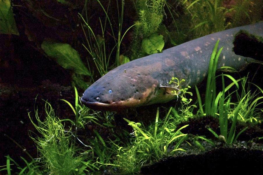 La evolución de los peces eléctricos sorprende a los científicos ...