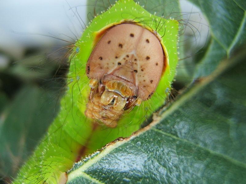 La mayoría de los insectos herbívoros se especializa en un único vegetal