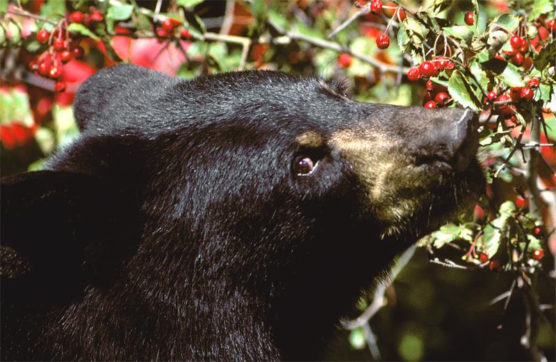 Los osos negros de Yosemite prefieren las plantas a la ...