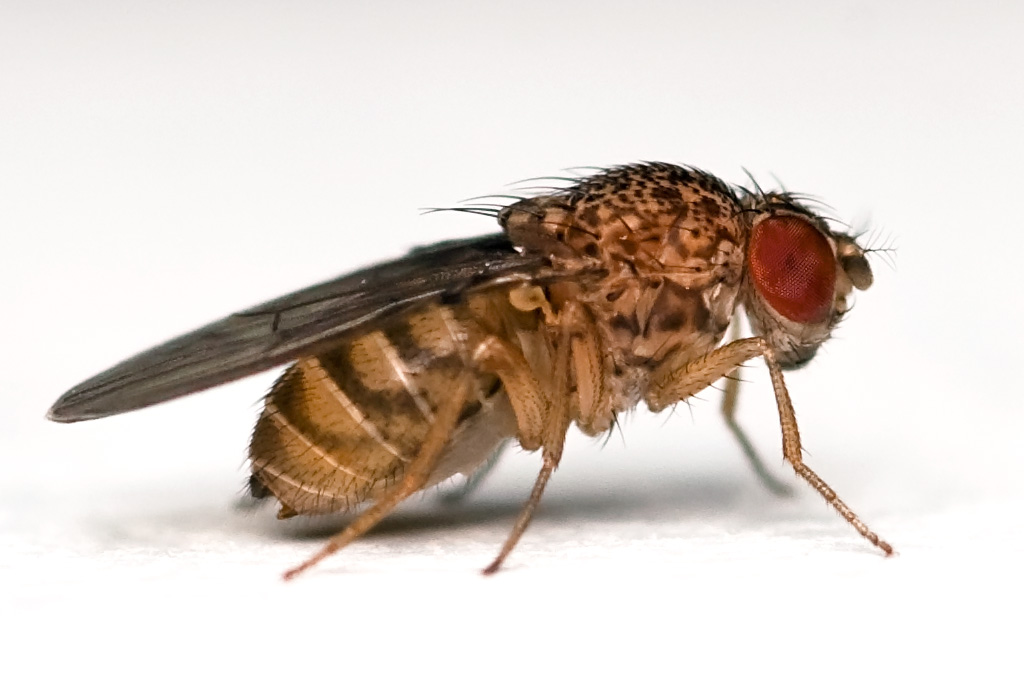 Los relojes circadianos de las moscas no obedecen las órdenes de un solo director