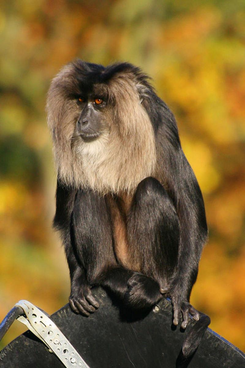 Macaco de cola de león / Fotografías / Multimedia / SINC