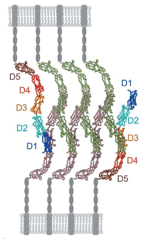 Nuevo modelo de interacciones neuronales con la proteína ICAM-5