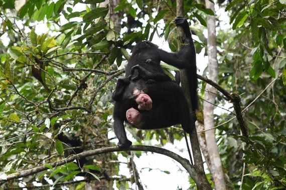 El sexo entre hembras de bonobo refuerza la cooperación y la amistad