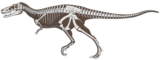 Esqueleto de Alioramus altai de hace 66 millones de antigüedad descubierto en el desierto de Gobi en Mongolia. skeleton of the long-snouted tyrannosaur Alioramus altai from the Late Cretaceous (~66 million years old) of the Gobi Desert of Mongolia.[Image credit: Frank Ippolito, American Museum of Natural History]
