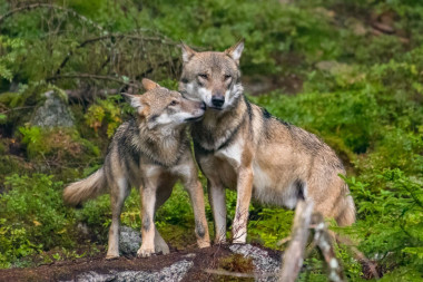 <p>Much of northern Sweden comprises boreal forests that could make a suitable habitat for wolves. /&nbsp;©&nbsp;Fotolia</p>