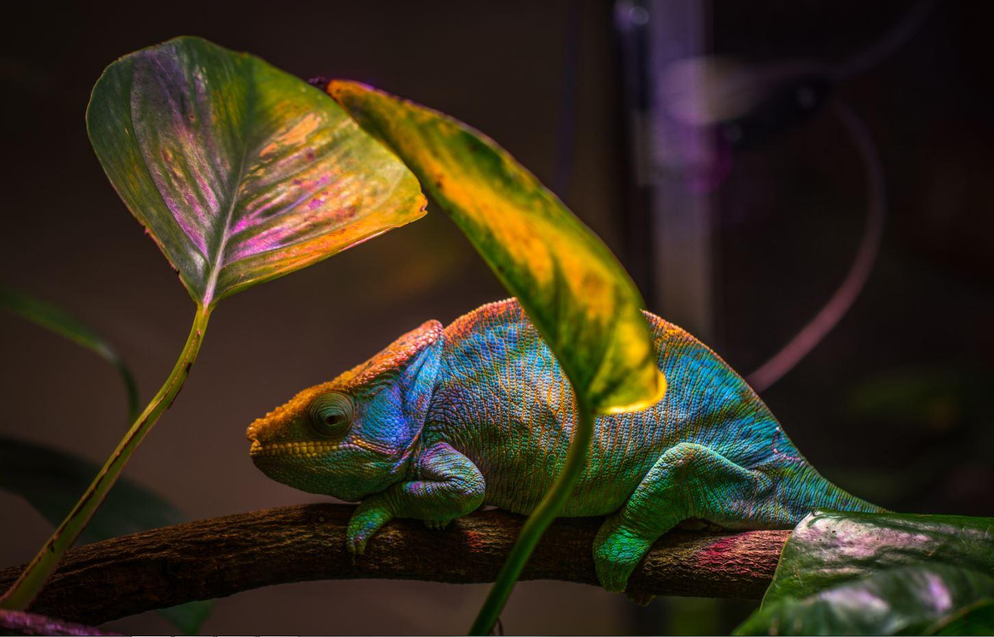 El-camaleon-inspira-un-nuevo-nanolaser-que-cambia-de-color