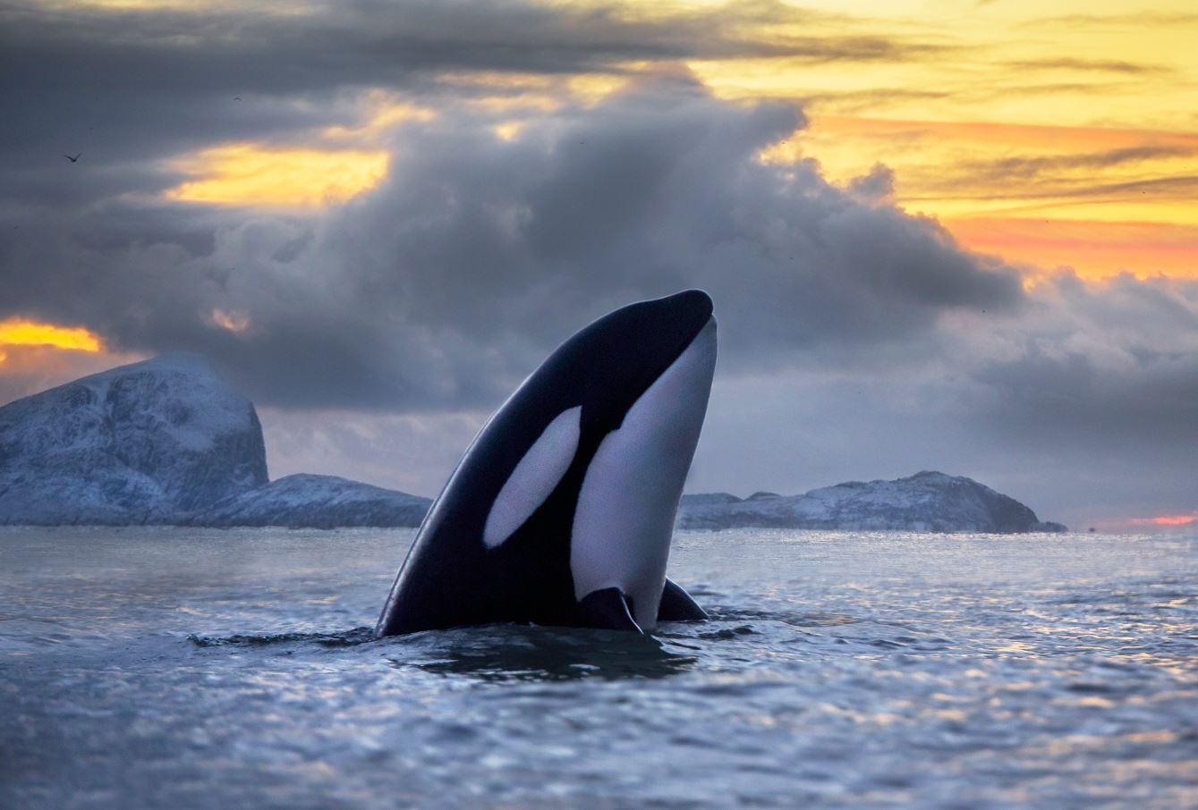 El-persistente-asesino-de-las-orcas-se-llama-pcb
