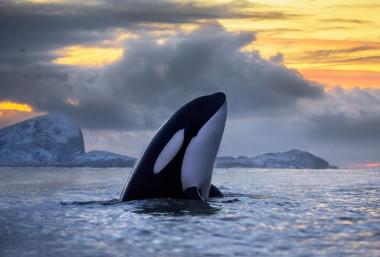 """<p/>Las poblaciones donde las orcas de presas como focas y atunes están más amenazadas. /Audun Rikardsen"""" /><span style="""