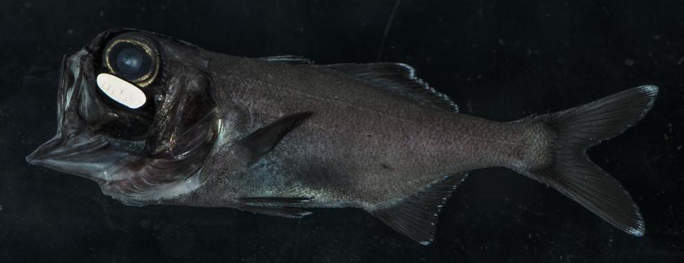El pez ojo de linterna usa la bioluminiscencia para 'quedar' de noche