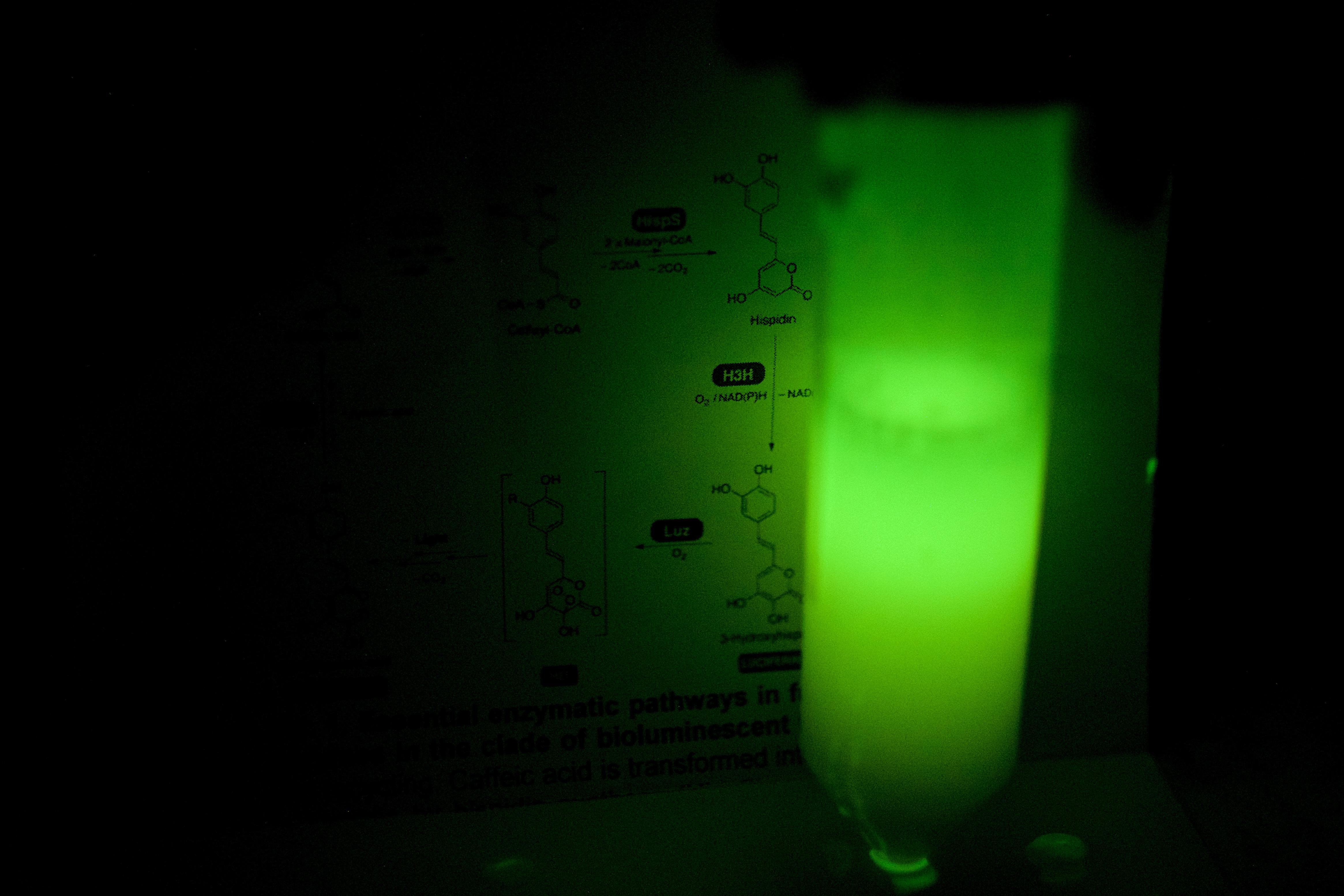 El sistema bioluminiscente de un hongo puede dotar de luz a animales y plantas