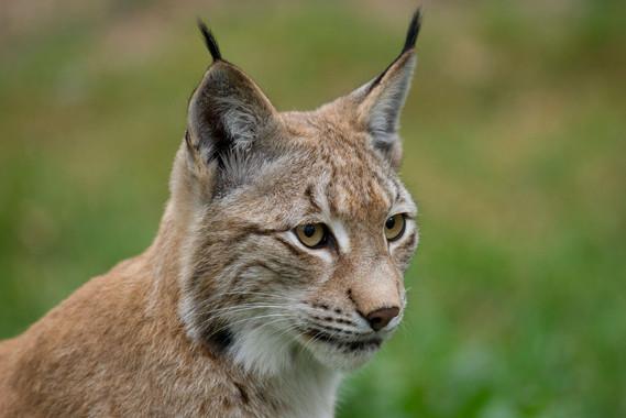 <p>Un nuevo estudio sugiere que los humanos están presionando a estos felinos. /Ralph Frank/WWF</p>
