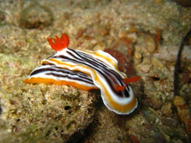 "<p/>Una de las especies de babosa de mar estudiadas (<em>Chromodoris magnifica</em>). / Eva McClure"" /><span style="
