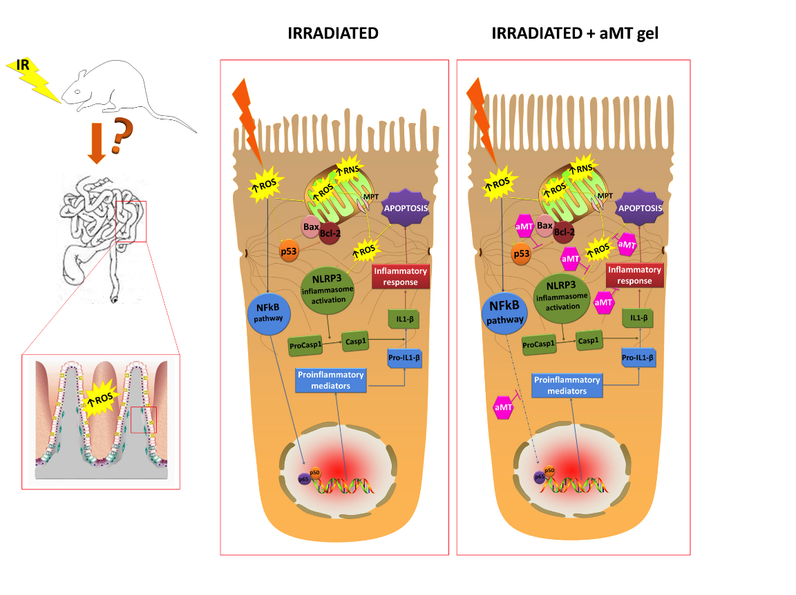 La melatonina protege el intestino delgado de la radioterapia en ...