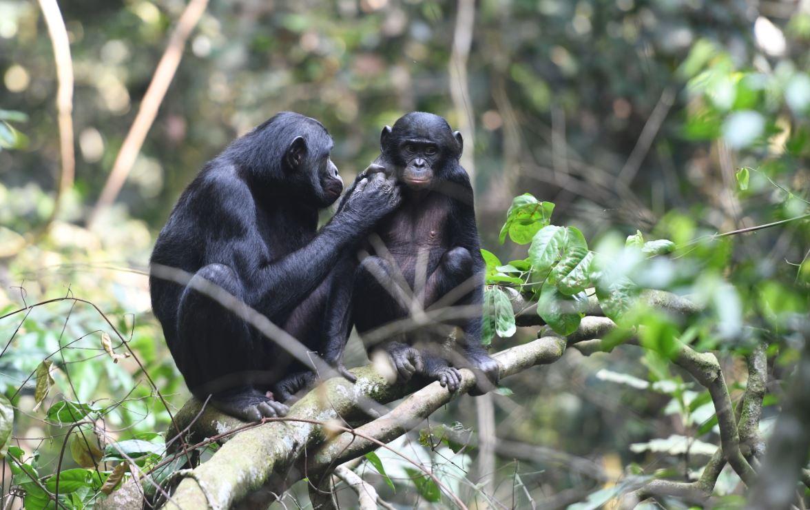 Las bonobas se alían con sus hijos para encontrarles pareja