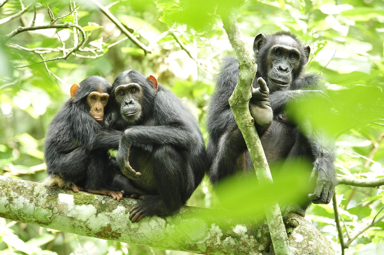 Los chimpancés basan sus relaciones en la confianza