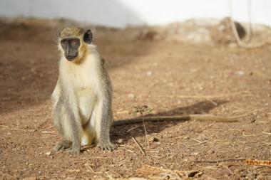 Mono verde en Senegal /Julia Fischer