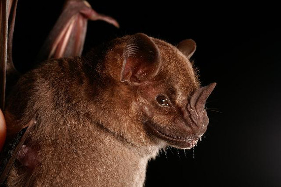 """<em></noscript>Artibeus jamaicensis</em>, una de las especies de murciélagos que sufren fobia lunar. / <a href=""""https://commons.wikimedia.org/wiki/File:Artibeus_jamaicensis2.jpg"""" target=""""_blank"""" rel="""