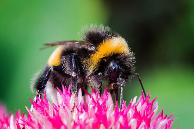 Los insecticidas ponen en peligro a los abejorros. /Jice75