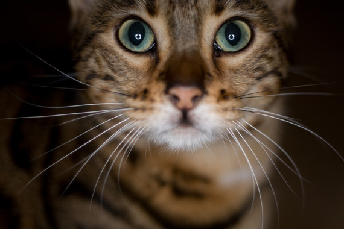 "<p>El híbrido entre el gato leopardo asiático (<em>Prionailurus bengalensis</em>)y el gato doméstico (<em>Felis silvestris catus</em>)–tipo abisinio o birmano– dio lugar al gato de Bengala. /<a href=""https://www.flickr.com/photos/jon-/4183956367/in/photolist-7nHSsK-5HJRk1-av4fFq-pzgi33-81CC67-4A51u-6XwTzR-7Dwg91-b1iX7c-pH2PTe-bsYdR7-d2bVFy-b1iXng-d2bXgG-9bSM8b-pk5zB-aTUVse-b1iYne-pyg7N2-fnEHhU-b1iXgR-aZv5yz-9eU1qW-9ZakZE-b48CuM-b1iYh6-fnEHgo-fm3M4p-5AsCE3-pS3i79-px4YxF-bL4Vtn-oLiHFW-4hF8Zc-4A578-5edSGJ-c2kNjY-4A4ZM-CEbXV-5CKwAP-aMg6HD-5Y238U-pMxLot-qsBJpF-eZoiz-cL9RsL-oGp3J-pHsxAL-jfrsMf-aMg5Q4/"" target=""_blank"">Jonathan Benson</a></p>"