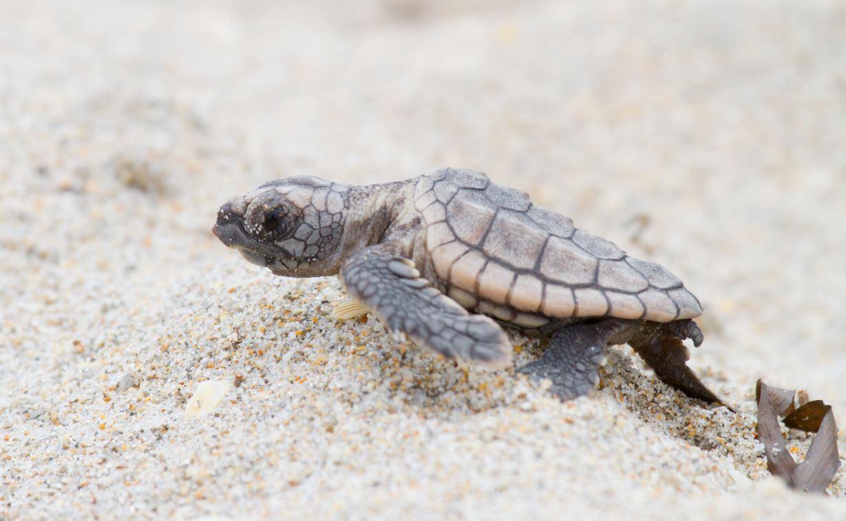 Nuevo método para conocer el sexo de las tortugas marinas / Noticias ...