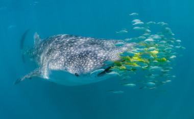 <p>Tiburón ballena en la Isla de Mafia en Tanzania. / www.simonjpierce.com</p>