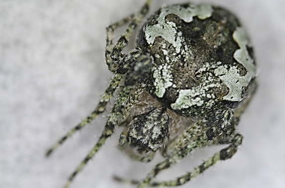 """<p/>Ejemplar adulto de la nueva especie de araña descubierta en España. /Eduardo Morano y Raul Bonal"""" /><span style="""