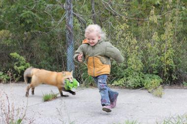 <p>Durante generaciones, grupos de zorros han sido seleccionados por su comportamiento dócil y agresivo en el Instituto Ruso de Citología y Genética en Rusia. Ahora, con la secuenciación de su genoma pueden comenzar a precisar la base genética de esos comportamientos. / Darya Shepeleva (Instituto Ruso de Citología y Genética en Novosibirsk)</p>