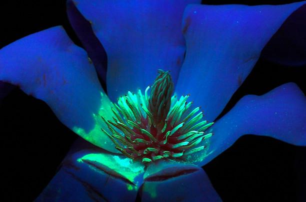 09 Fluorescencia flor Magnolia stellata-01