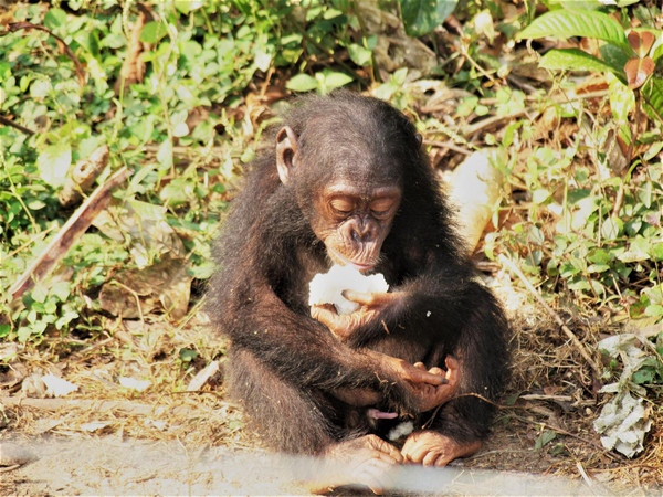Un chimpancé comiendo fruta / James Higham