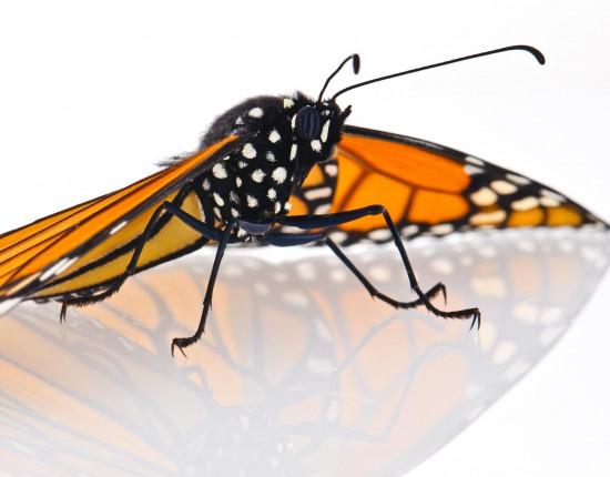 Mariposa monarca adulta / Ellen Woods. Copyright Anurag Agrawal, Cornell University.