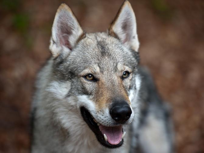 Perro lobo checoslovaco, un híbrido entre pastor alemán y lobo euroasiático. /Sonja Pauen