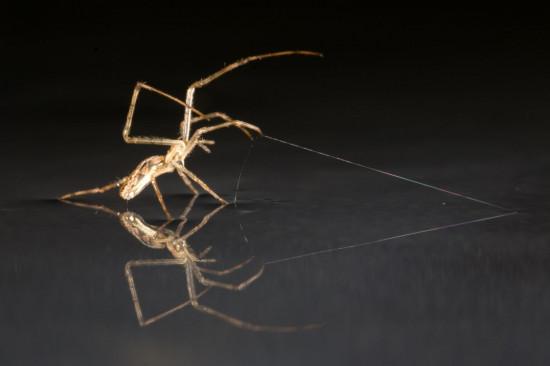 La araña Tetragnathid está usando seda como ancla. / Alex Hyde