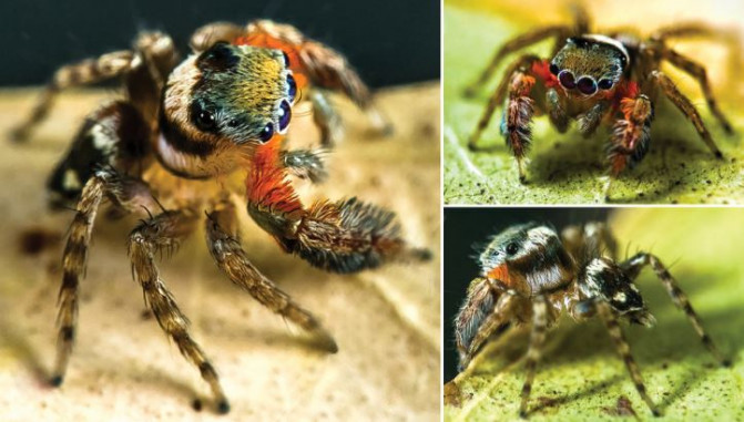 Arañas saltarinas