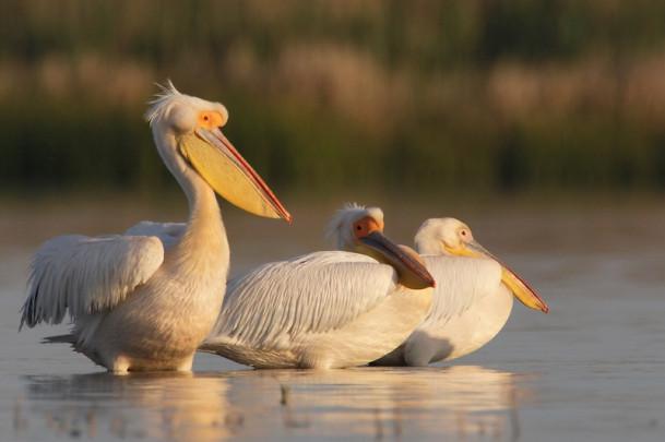 Pelícanos en la reserva del delta del Danuvio
