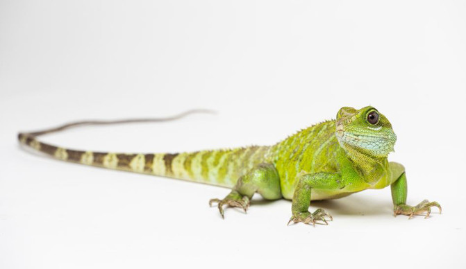Cría de dragón verde