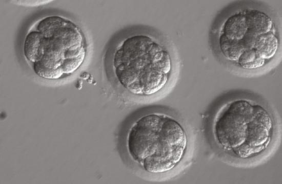 embriones_CRISPR