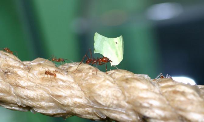 Hormigas cultivadoras de hongos