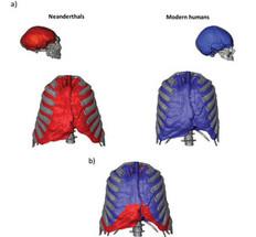 a) Forma del tórax y los pulmones en vista frontal de los humanos modernos y neandertales, así como una imagen de sus cerebros en la vista lateral. El tórax y el cráneo neandertales pertenecen a Kebara 2 y Guattari 1, respectivamente. El tórax y el cráneo de humanos modernos pertenecen a un promedio de cuatro humanos modernos y a un individuo, respectivamente. B) Superposición en vista frontal del tórax y pulmones de Neandertal y humano moderno. C) Superposición en vista inferior, donde se puede observar una mayor anchura y profundidad en Neandertales (Imágenes de los cráneos proporcionadas por el Dr. García Tabernero).