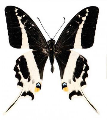 Nueva mariposa