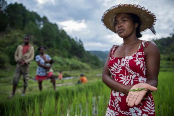 Plagas de insectos en arrozales
