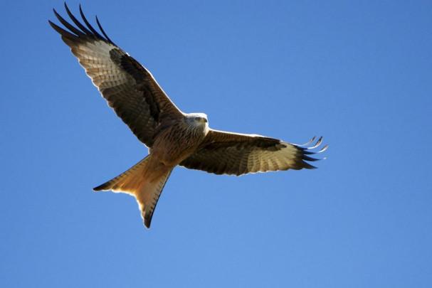 Red_Kite,_Spain