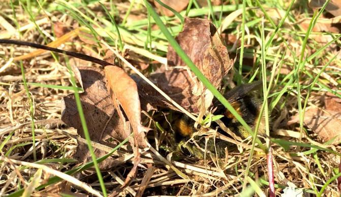Un abejorro bajo las hojas