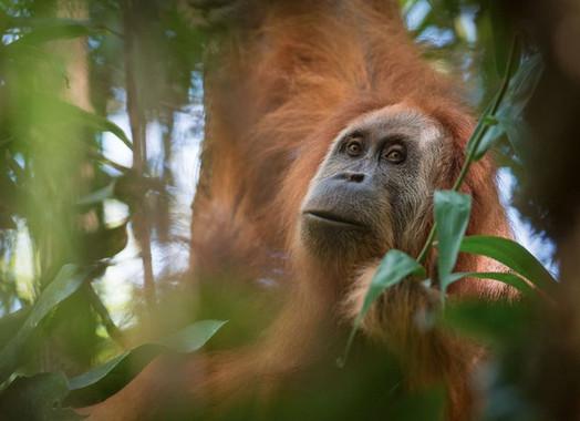 Una-nueva-especie-de-orangutan-descubierta-en-Sumatra-esta-casi-extinta_image_380