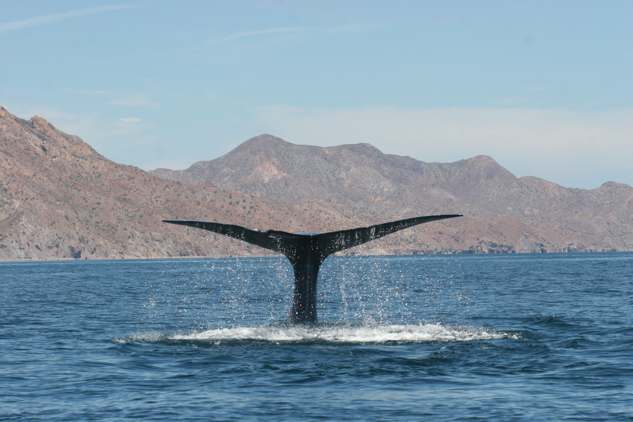 Las ballenas azules se 'broncean' para protegerse de la radiación ultravioleta