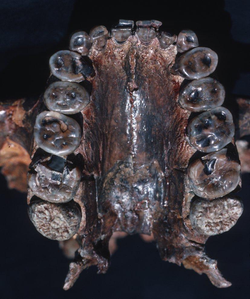 El 'hombre cascanueces' se alimentaba de chufas en África hace dos millones de años