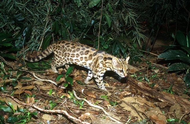 Descubierta una nueva y enigmática especie de tigrillo salvaje en Brasil