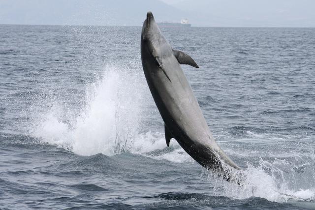 Un delfín en aguas de Canarias. / Efe